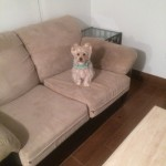 Everett-Sofa-Pet-Stain-Cleaning